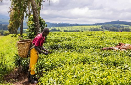 DCO sensors can monitor the tea production process